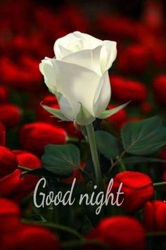 A white rose celebrates your life.the red roses are my memories. Beautiful Rose Flowers, Amazing Flowers, My Flower, Flower Power, Beautiful Flowers, Good Night Flowers, Good Morning Roses, White Rose Flower, Good Morning Good Night