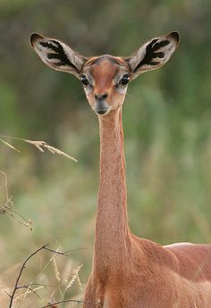 "The gerenuk, Litocranius walleri, is a long-necked species of antelope found in dry thorn bush scrub and desert in East Africa. The word gerenuk means ""giraffe-necked"". Nature Animals, Animals And Pets, Funny Animals, Cute Animals, Interesting Animals, Unusual Animals, Beautiful Creatures, Animals Beautiful, Animals Amazing"