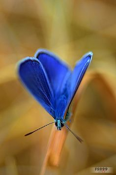"""""""Populations of the Adonis Blue butterfly (Polyommattus Bellargus) have been declining within its grassland habitats in GB due to a lack of herbivore grazing. Papillon Butterfly, Butterfly Kisses, Butterfly Flowers, Blue Butterfly, Butterfly Photos, Beautiful Bugs, Beautiful Butterflies, Beautiful Creatures, Animals Beautiful"""