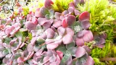 Stonecrop is a native succulent plant on Vancouver Island. Vancouver Island, Native Plants, Planting Succulents, Wildflowers, Nativity, Flora, Indoor, Garden, Nature