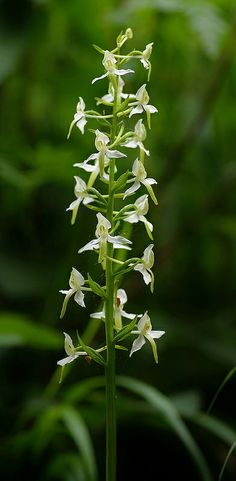 """The Lesser Butterfly Orchid """"Platanthera bifolia"""" Wild Orchid, Flower Images, Botany, Tattos, Wild Flowers, Grass, Flora, Tropical, Butterfly"""