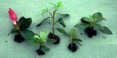 How to take azalea cuttings.