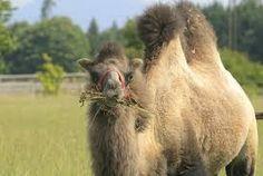 Von allen geliebt! Camel, Animals, France, Bayern, Animales, Animaux, Camels, Animal, Bactrian Camel