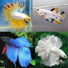 White and multi-coloured betta fish