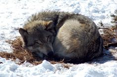 Wolves Can Help Restore Ecosystems : TreeHugger