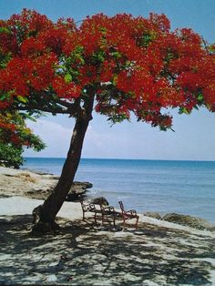 Flamboyant tree Basks on a Cuban Beach