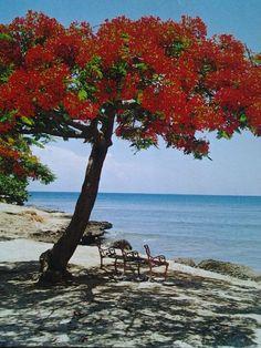 Flamboyant tree on a Cuban Beach