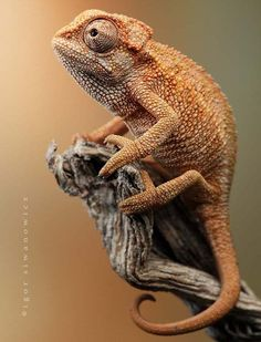 Astounding Chameleon photography 1