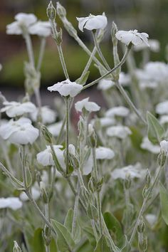 Find useful gardening tips and articles at http://www.thebloomingoasis.com Lychnis coronaria 'Alba' - Rose Campion, Dusty Miller
