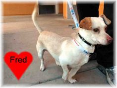 #CALIFORNIA ~ Fred Stone ID A111771 is a Chi in need of a loving #adopter / #rescue at MERCED COUNTY ANIMAL CONTROL 2150 Shuttle Dr #Atwater CA 95301 Ph 209-385-7436
