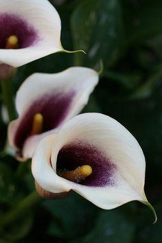 Picasso Calla Lilies
