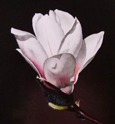 """White Magnolia with Pink Accents"" - Original Fine Art for Sale - © Jacqueline Gnott"