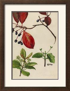 """looking down hall to dining - A Sprig of Blackgum Tree Blossoms and Berries Giclee Print - A Sprig of Blackgum Tree Blossoms and Berries Giclee Print by Mary E. Eaton - @ 23""""x31"""" framed - image 13x19.5 - smaller image of 10x14 available would frame out about 19x26"""