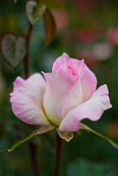Hybrid Tea Rose: Rosa 'Kamo' (Japan, 1978)