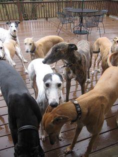 Greyhound Adoption at GPANashville.org.