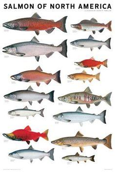 Very nice color salmon identification chart, www.maverickfishhunter.com
