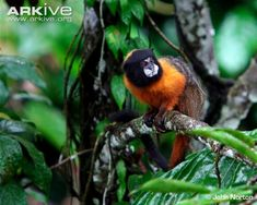 Golden-mantle saddleback tamarin (Saguinus tripartitus)  - The golden-mantle saddleback tamarin gives birth to twins which together weigh up to 25% of the female's body weight.