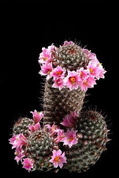 Mammillaria sheldonii - Photo : Andrea B.