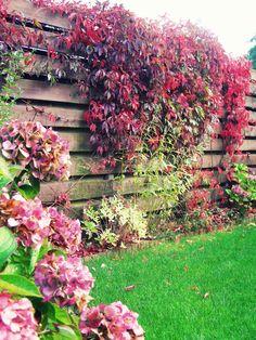 """Parthenocissus """"henryana"""" (wilde wingerd). Klimt tot de nok van een object en klimt het liefst tegen koele, beschutte plaatsen. Is zelfhechtend. Bijvoorbeeld plaatsen op (deel van) ons schuurtje. Green Rooms, Winter Garden, Garden Inspiration, Garden Plants, Shrubs, Vines, Home And Garden, Patio, Photo And Video"""
