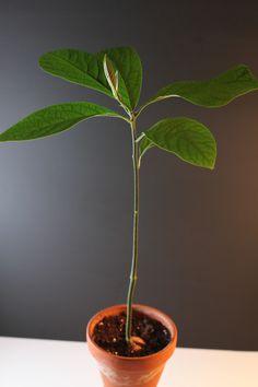 "Avocatier ""une tige"" I Shop, Plant Leaves, Plants, Inspiration, Gardens, Avocado Tree, Plant Stem, Backyard Farming, Biblical Inspiration"