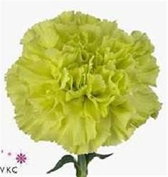 Jig is a beautiful green standard carnation variety. 65cm tall & wholesaled in 20 stem wraps. (Also known as Dianthus Flowers).