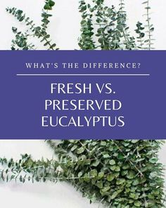Eucalyptus leaves and branches can come fresh, dried, or preserved and there are good uses for all of them.  So, what are the differences and why should you choose one kind over another?  Fresh vs. Preserved Eucalyptus  Fresh Eucalyptus is usually bought at fresh flower stores and has the most scent but will quickly dry up. It will become brittle and lose its scent in one to two weeks.  #bouquets #eucalyptus #PreservedEucalyptus #weddingbouquet #DriedDecor.com