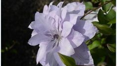 Clematis 'Reflections' ™