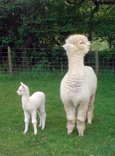 Llamas! I don't know why, but I love them! And alpacas.
