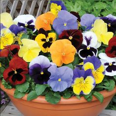 Pansy 'Most Scented Mix'; Light fragrance early morning and at dusk during the cooler months of the year. Ideal as a filer around spring and summer flowering bulbs. Ideally grow in at least 6 hours of direct sun a day. Balcony Plants, Outdoor Plants, Flower Seeds, Flower Pots, List Of Edible Flowers, Moonflower Vine, Summer Flowering Bulbs, Online Plant Nursery, Biennial Plants