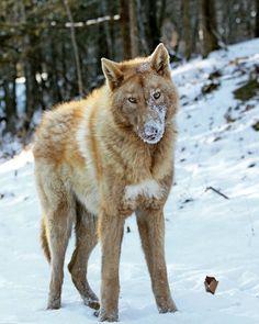 Malamute, Siberian Husky, German Shepherd, and Wolf mix