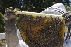 El proceso de recolección de la miel.