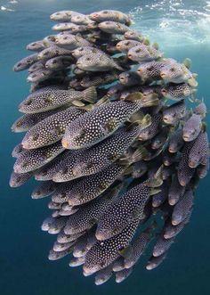 Massed display of boxfish