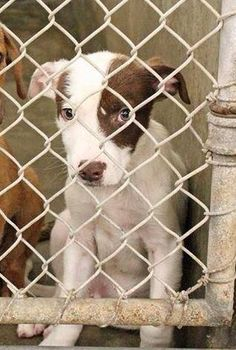 ~~SUPER URGENT~~~~He is still there!!!~~ WILL DIE 7PM Tuesday 07/15/14~~ He was given extra time! Save him!!~  Collie mix~male~ less than a year old~ Kennel A14****$51 to adopt  Located at Odessa, Texas Animal Control. 432-368-3527.