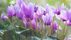 Růžová flóra, botanická zahrada Bellevue (Washington, USA)