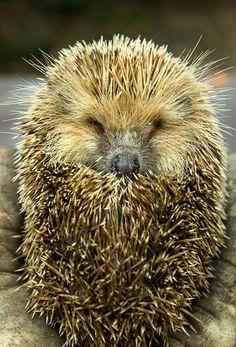 Hedgehog by valentino.villa.5