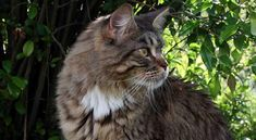 Maine-Coon-Hunting