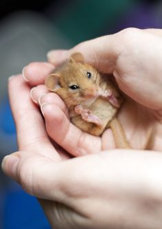 Baby Hamster discovered by Dreams come True on We Heart It Animals And Pets, Funny Animals, Cute Mouse, Baby Mouse, Mini Mouse, Cute Hamsters, Cute Little Animals, Tier Fotos, Cute Animal Pictures