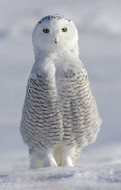 Baby Snowy Owl - dressed in his Sunday best coat.....adorable!