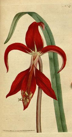 v.1-2 (1787-1789) - The Botanical magazine, or, Flower-garden displayed ... / - Biodiversity Heritage Library 423 x 806