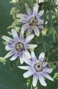 Passion Flowers -- Passiflora is a good herb for sleep
