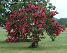 These are gorgeous trees popular in the South come springtime (the pruning process is pretty grim though).