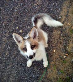 This Adorable Guy Is a Marble Fox, And He Looks Like He's Half Husky, Half Fox