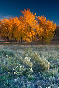 ~~First Light Of Fall ~ golden aspens in a scenic Cherry Creek State Park, Aurora, Colorado by John De Bord Photography~~