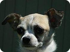 Westampton, NJ - Chihuahua. Meet Sweetie D-59808, a dog for adoption. http://www.adoptapet.com/pet/11113020-westampton-new-jersey-chihuahua