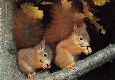 precious baby Red Squirrels!  LOVE their fluffy bushy tails!  ha! ha! ha!
