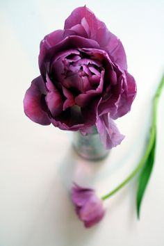 Purple tulip (by Something To See)