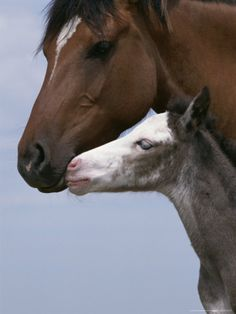Spanish Mustang Mare with Foal  Colonial Spanish horse now extinct in Spain.  Not wild generally, but domesticated.
