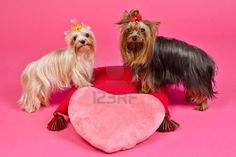 Two Yorky Dogs With Valentines Pink Heart,