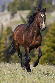 Wild mustang stallion galloping by D. Robert Franz