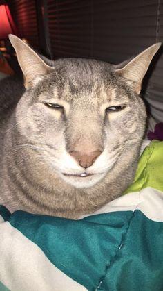 Everyone posting their pretty pets, I got this fugly sob Cute Cat Memes, Funny Animal Jokes, Cute Funny Animals, Animal Memes, Cute Baby Animals, Cute Cats, Funny Cat Faces, Funny Cats, Silly Cats